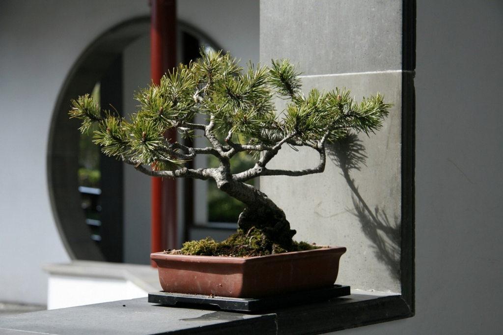 Дерево бонсай в интерьере